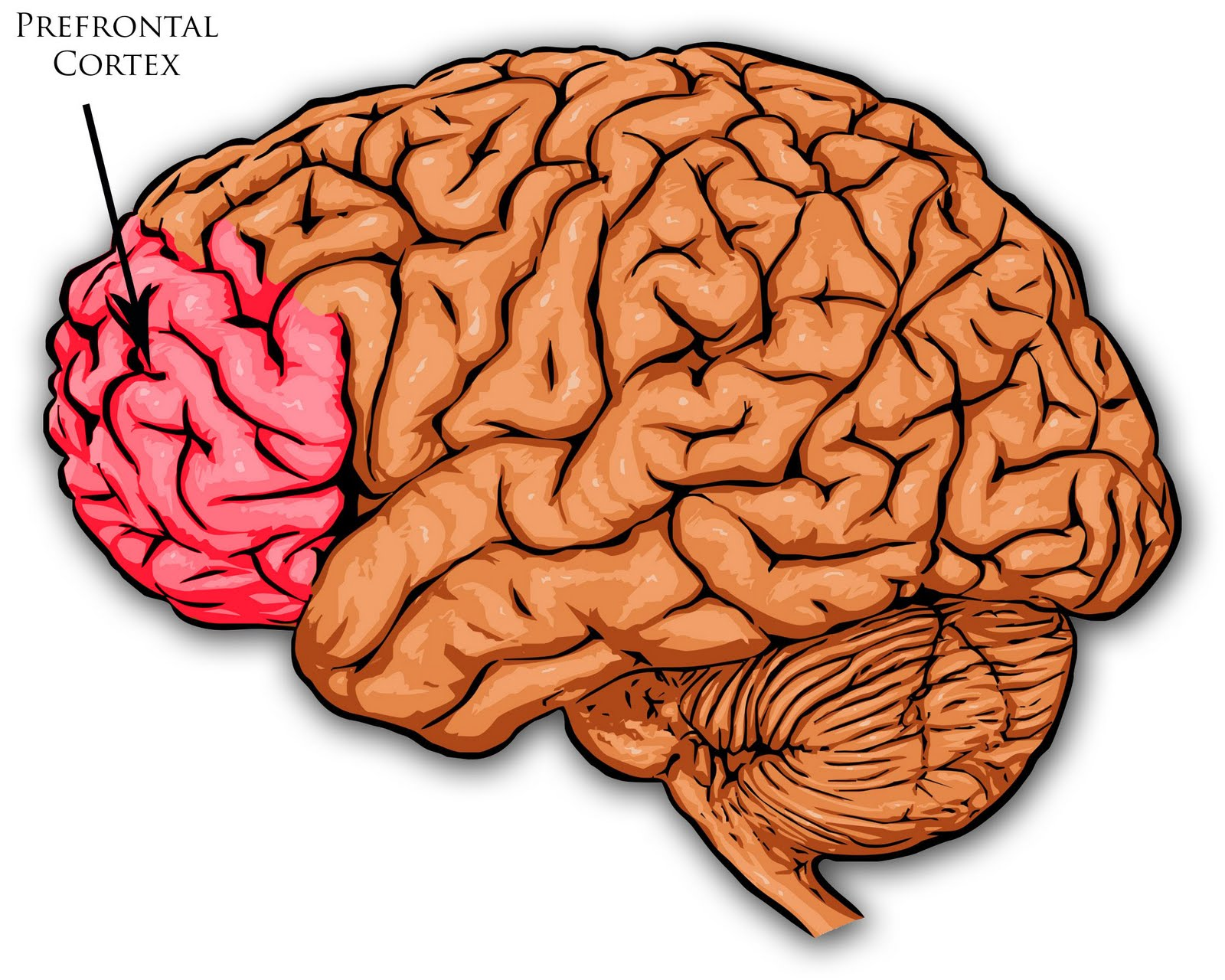 Prefrontal Cortex - ThingLink